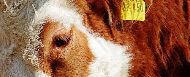 Koe traan - bron van dierenliefde